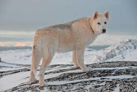 Greenland dog standing on a mountain