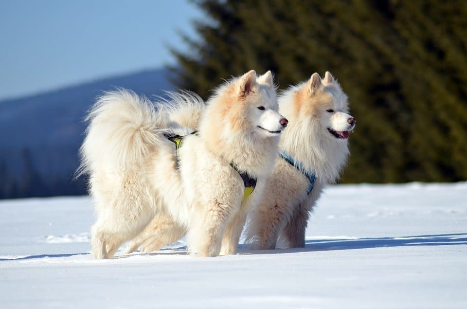 A pair of samoyed dogs racing side by side