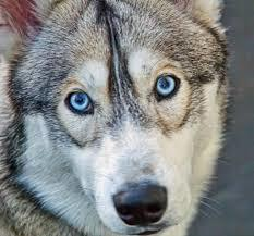 close-up of a siberian husky