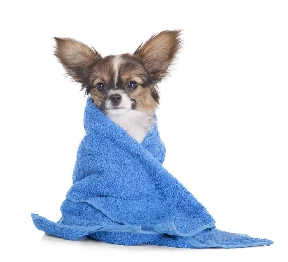 Papillon puppy drying after bath