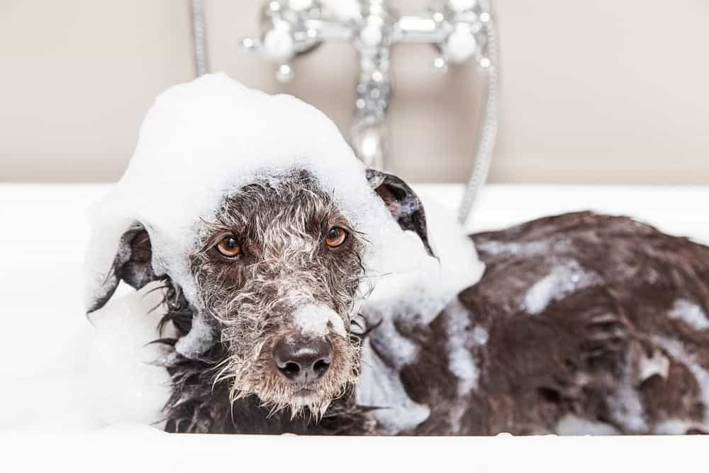 Terrier using best smelling shampoo