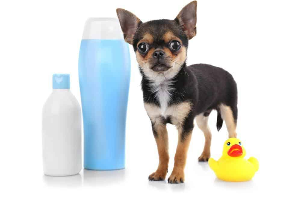 Chihuahua and bottle of best smelling shampoo