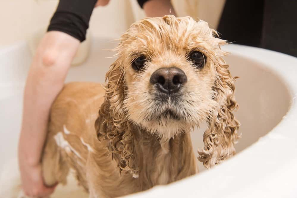 Smelly American cocker spaniel in bath
