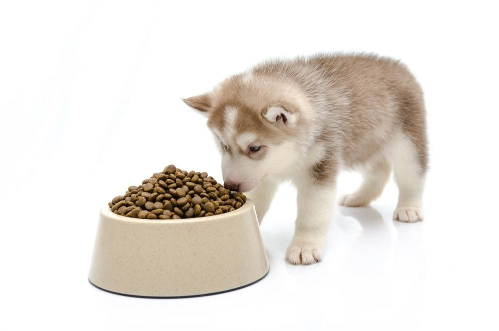 Siberian husky puppy eating dry high calorie food for dogs