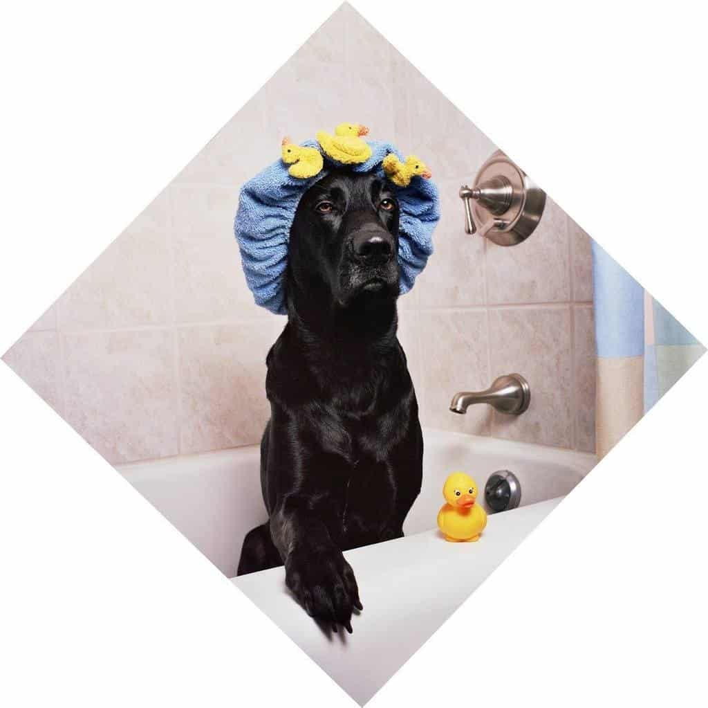 black lab using best smelling shampoo