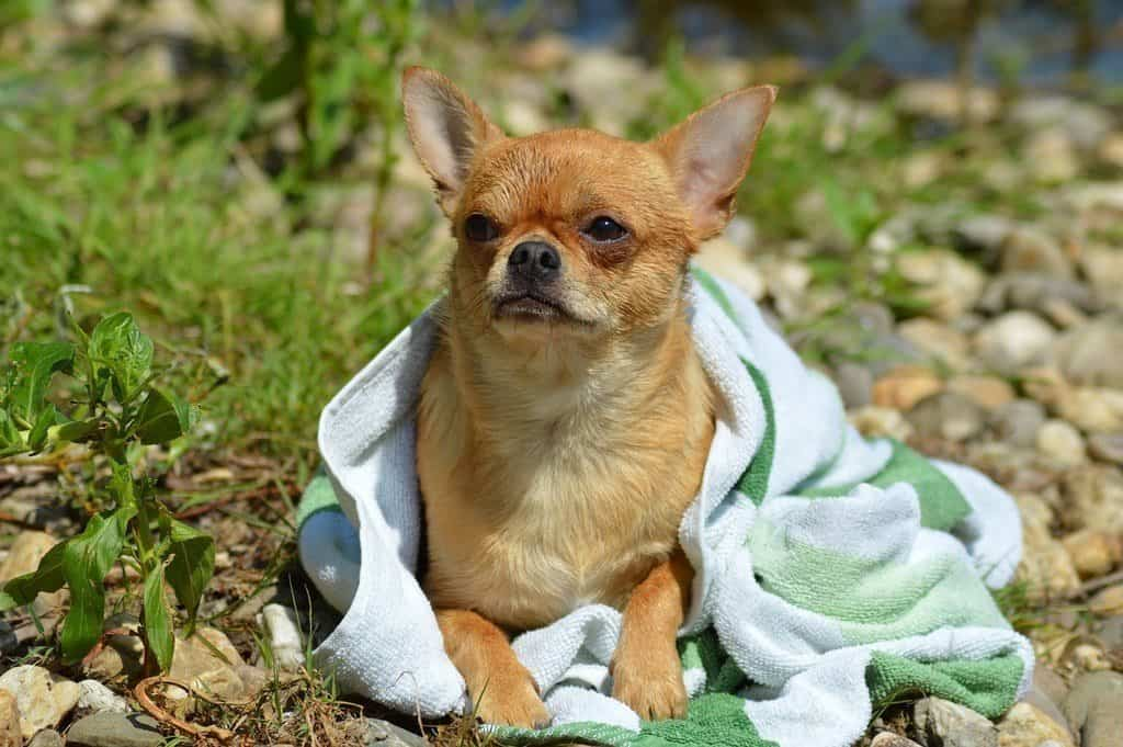 small dog drying after bath