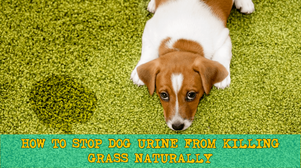 How to Stop Dog Urine from Killing Grass Naturally | Puppy