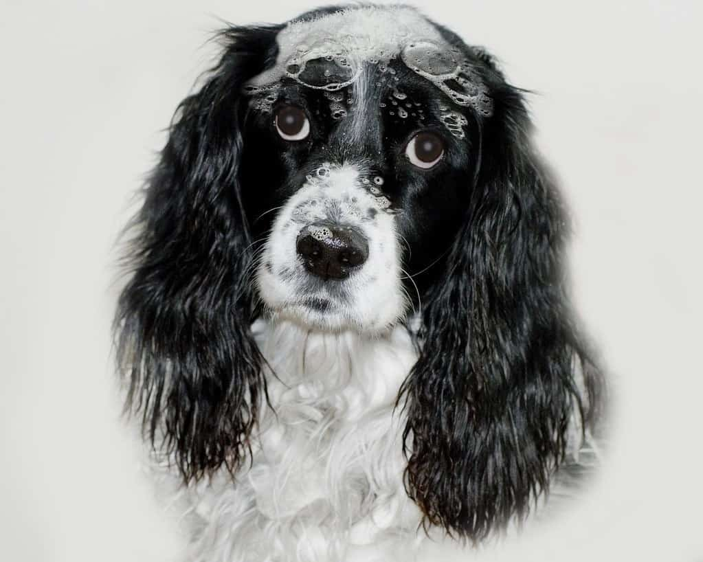 English Spaniel using best smelling shampoo