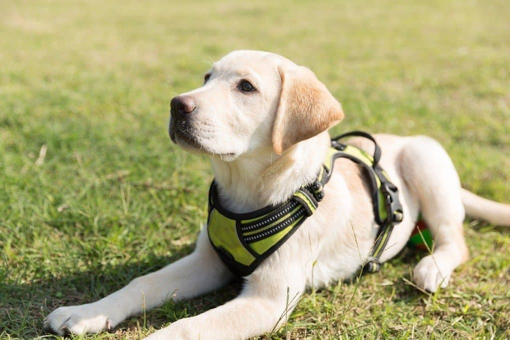 puppy in yellow harness