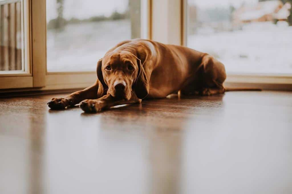 old brown dog laying down