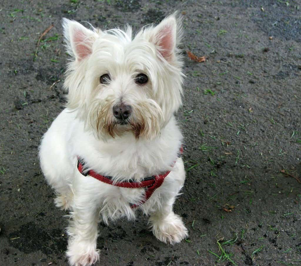 west highland white terrier that uses fresh scent shampoo