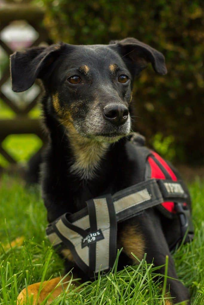 Paw Five harness on black dog