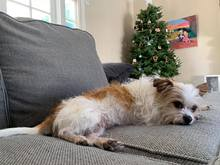 terrier laying on couch
