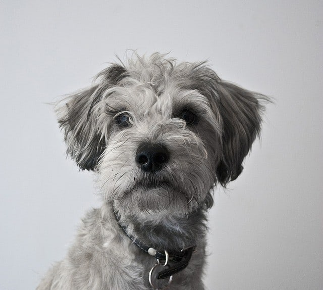Portrait of miniature-schnauzer