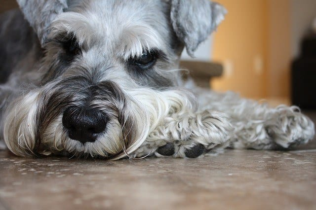 close-up of miniature schnauzer laying down