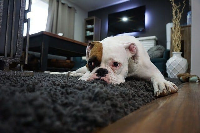 boxer laying on black carpet