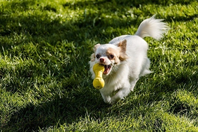 chihuahua biting toy