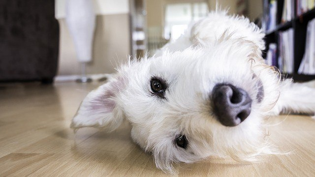 white dog upside down