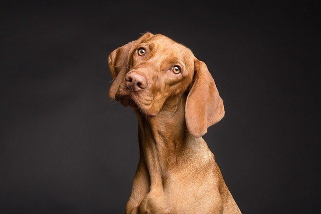 brown dog portrait