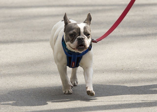 bulldog walking