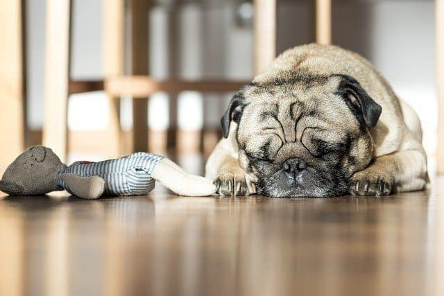 pug sleeping with chew doll