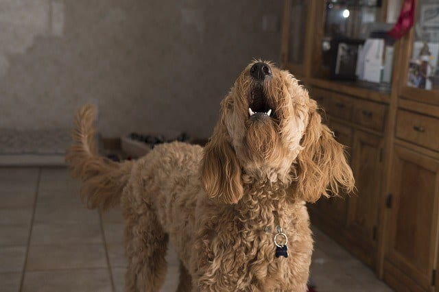 doodle barking in house