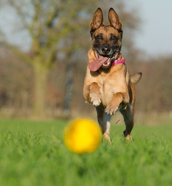shepherd running after ball