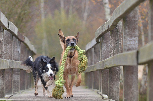 malinois and border collie chewing green rope