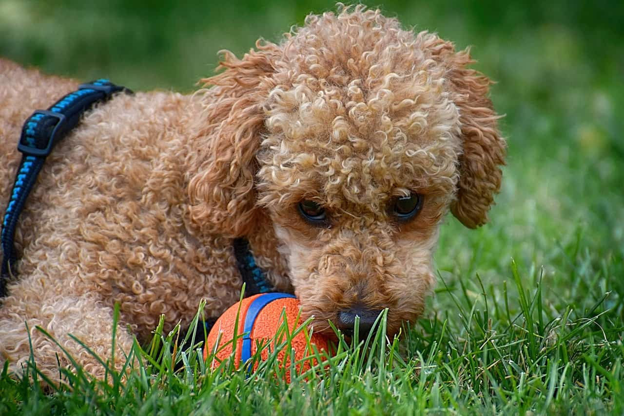 poodle playing with orange ball