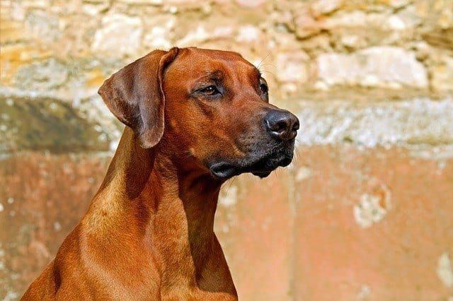 rhodesian ridgeback close-up