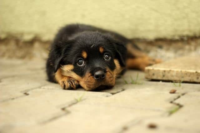 rottweiler puppy laying down