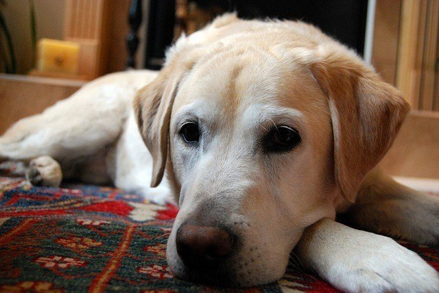 yellow labrador retriever laying on carpet