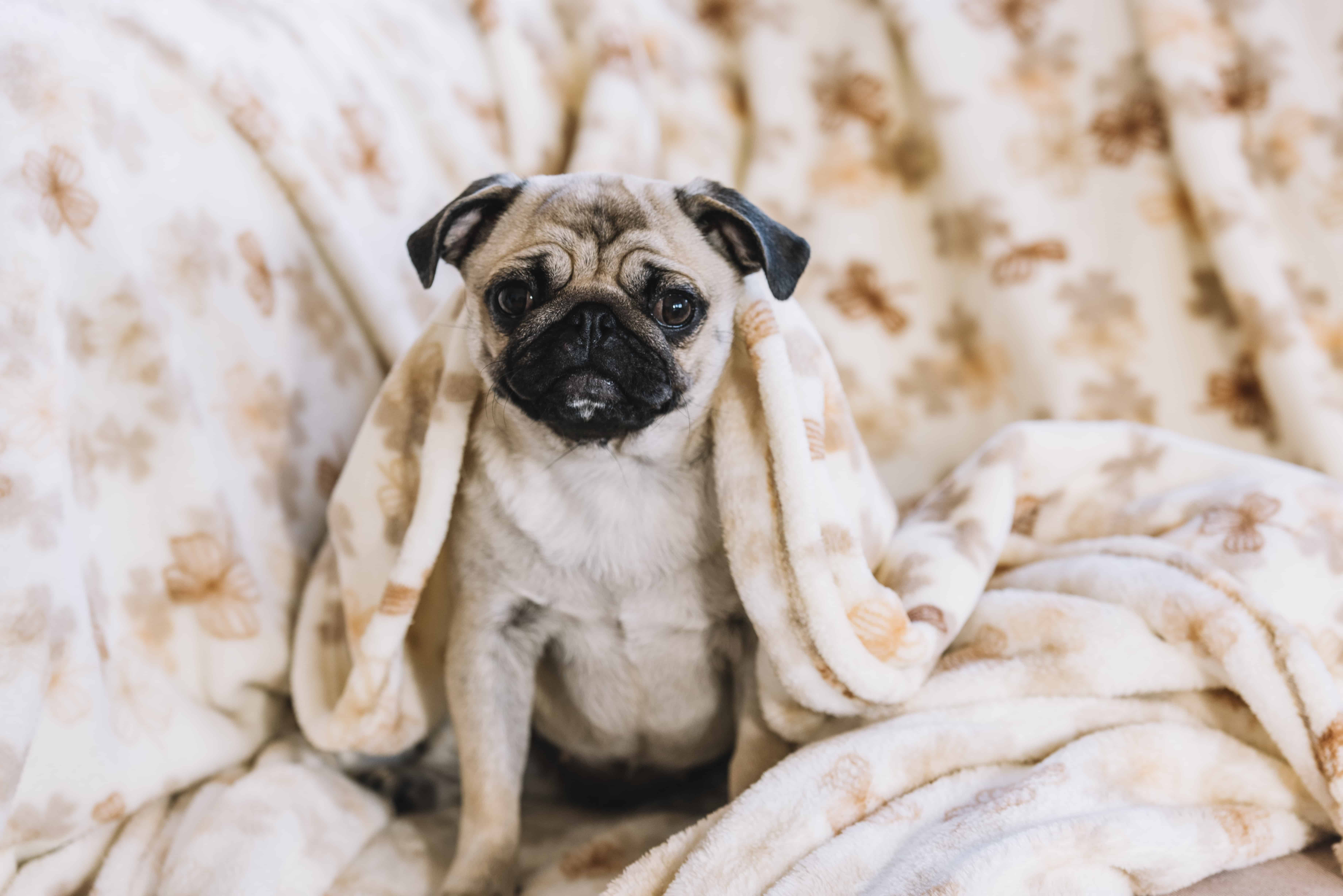 Pug with large blanket
