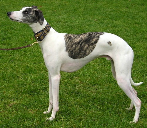 English Whippet standing on grass