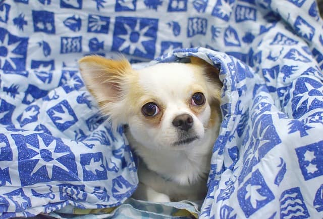 small dog in blue blanket