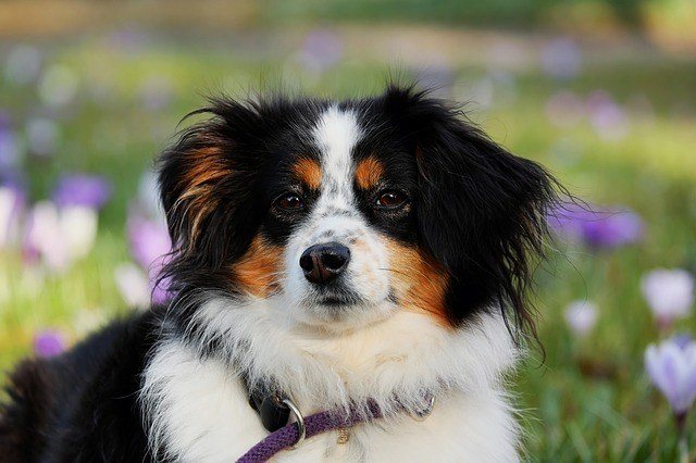australian shepherd standing outside