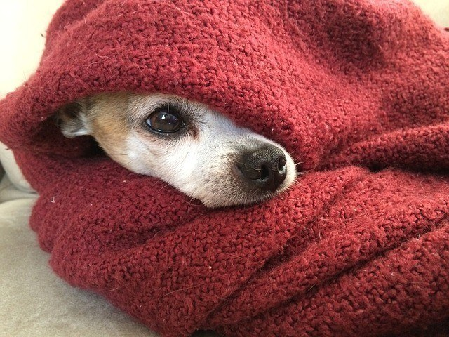 chihuahua under the covers