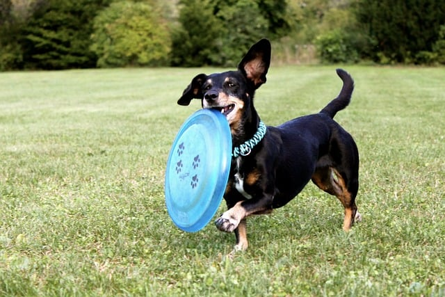 dachshund with blue disc