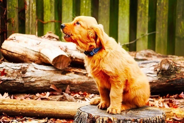 puppy howling on wood stump