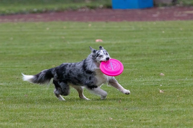 medium dog catching yellow disc