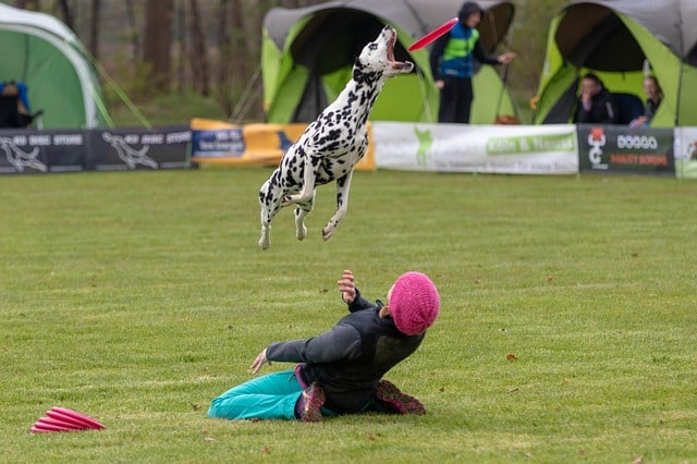 dalmation in frisbee competition