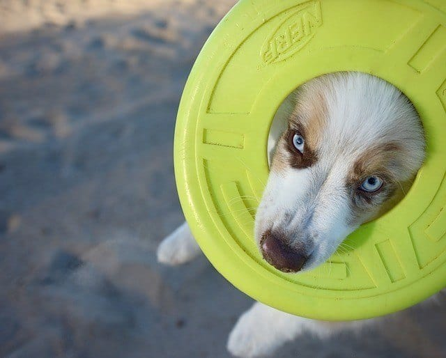 puppy chewing frisbee