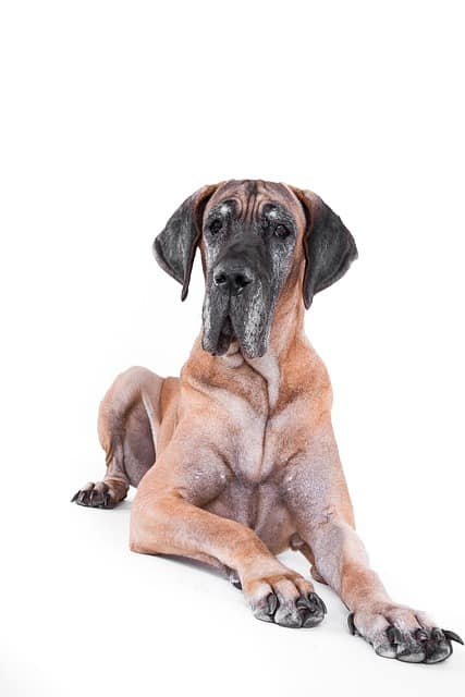 great dane against white backdrop
