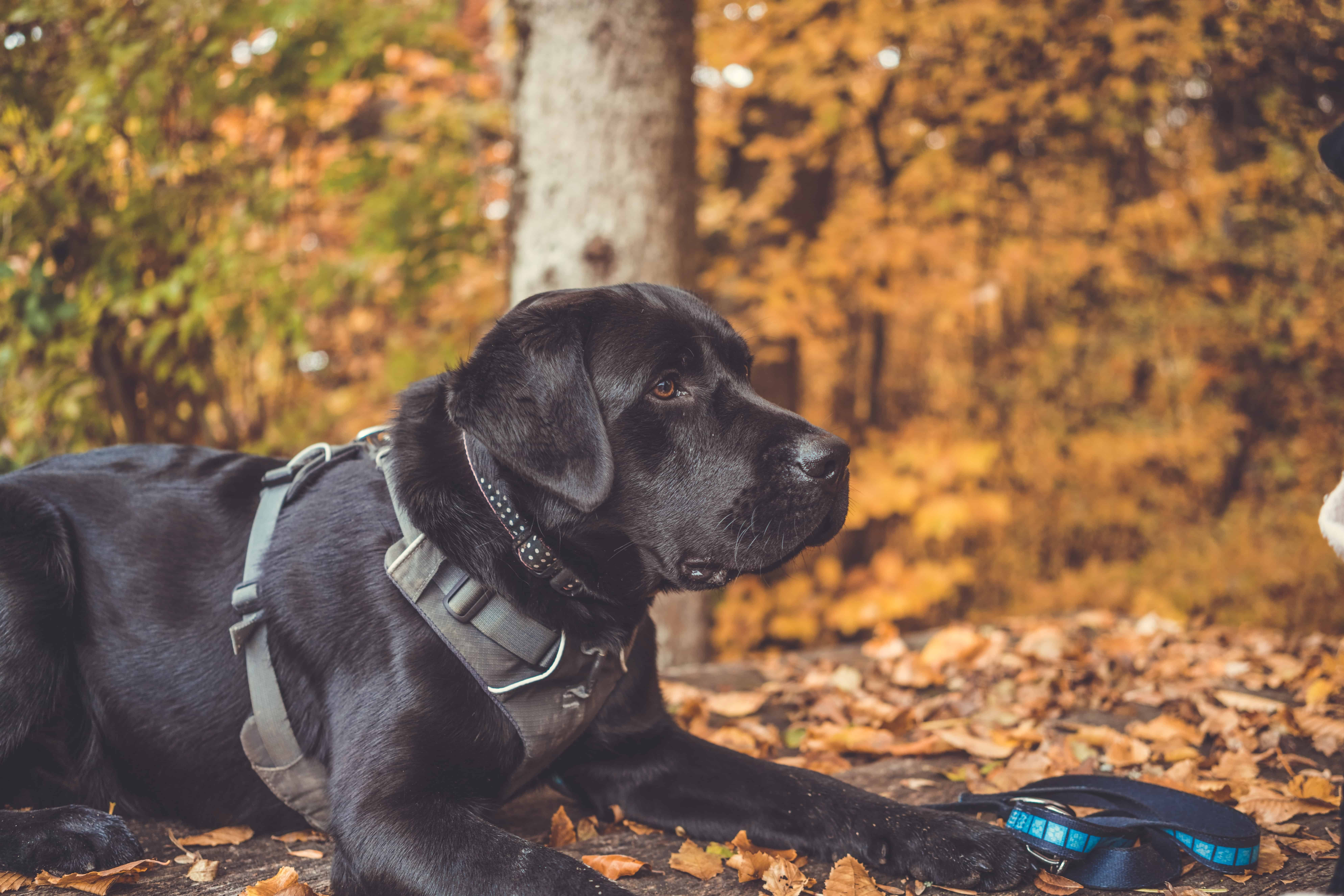 large black dog in running harness