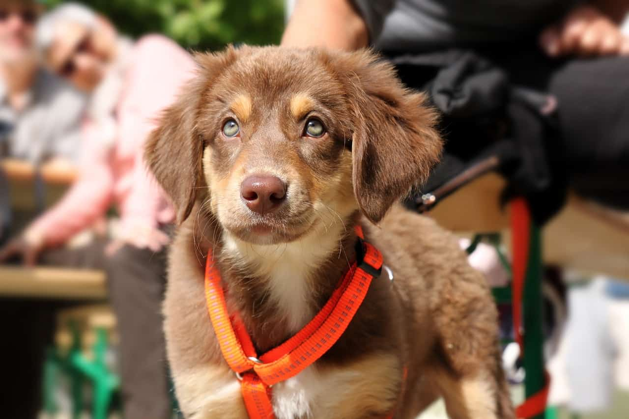 Small brown dog with harness