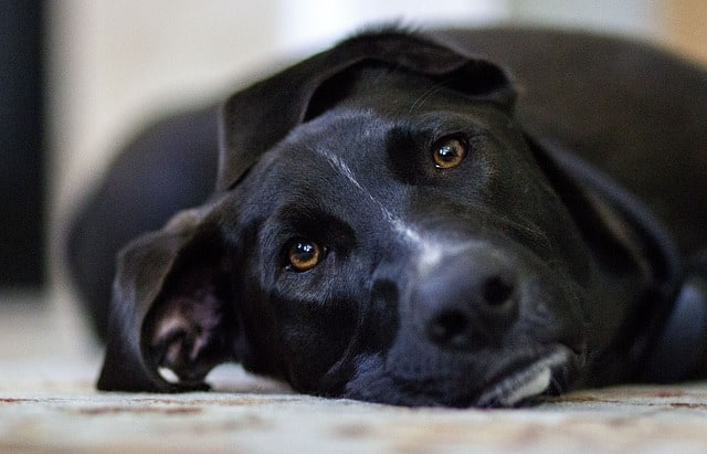 black dog laying down