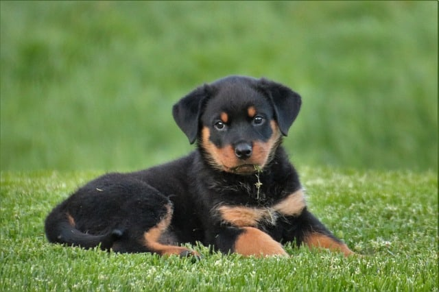 rottweiler puppy on grass
