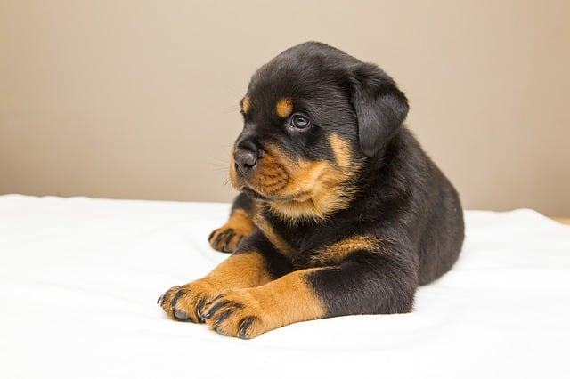 rottweiler laying on bed