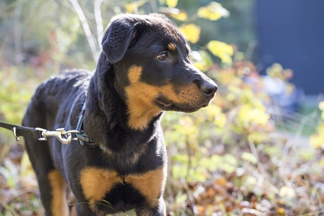 young rottweiler outside