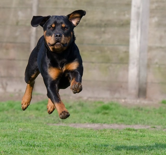 rottweiler running in field